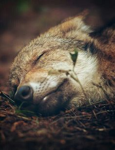 sleeping wolf so sweet Wolf Spirit, Spirit Animal, Wolf Pictures, Animal Pictures, Beautiful Creatures, Animals Beautiful, Sleeping Wolf, Tier Wolf, Malamute