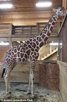 April the giraffe became a worldwide sensation since Animal Adventure Park announced she was giving birth in a livestream. Zookeepers in Harpursville, New York say she has become moody.