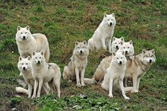 The White Wolf Pack