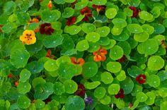 garden_beneficial_plants _05