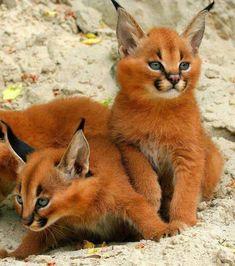 Le caracal, aussi connu comme le lynx du désert, est une espèce unique et magnifique