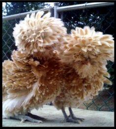 http://www.backyardchickens.com/forum/uploads/28234_buff_laced_juveniles.jpg