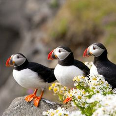 Artic Puffins - Látrabjarg Cliffs is Iceland's largest cliff face and Europe's largest sea cliff rookery.