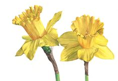 Daffodil print of watercolour painting A4 size by LouiseDeMasi