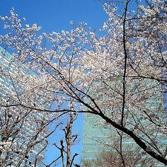 新宿中央公園の桜❗