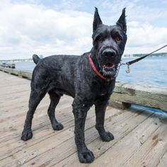 """Atlas, Bouvier des Flandres (6 y/o), Halifax Waterfront, Halifax, Nova Scotia, CAN • """"He just had his summer haircut; he looks like a bear…"""