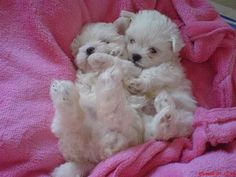 maltese bichon - Bing Images age about weeks old Bichon Frise, Bichon Dog, Yorkie Puppy, Havanese, Cute Puppies, Cute Dogs, Fluffy Puppies, Baby Animals, Cute Animals
