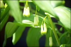 Solomon's Seal for the garden. An old fashioned cottage garden plant