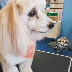 """Buster #wagsmytail #tucsondoggrooming #doggroomer """"#cuteface A well groomed dog is a well loved dog! Call us today to schedule your dog grooming appointment 520-744-7040"""