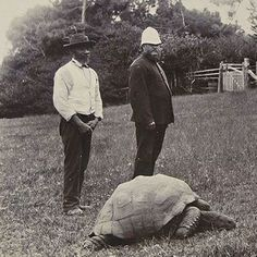 """The photograph of this tortoise """"Jonathan"""" was taken around 1900 and was recently discovered as part of a collection of Boer War images. Jonathan was about 70 years old when this picture was taken which makes him approximately 177 years old today. Here is a link to a current photo: http://i.dailymail.co.uk/i/pix/2008/12/03/article-1091654-02ACEF34000005DC-483_468x463.jpg"""