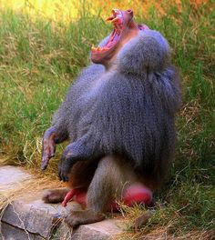 Baboon (♥♥Explored♥♥) by Ali - Arsh, via Flickr