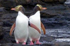 Wondering where to see penguins for free in New Zealand? You don't have to pay a tour to see those rare yellow-eyed penguins.