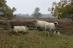 Hendrik VAN KAMPEN - Sheep (schoonebeekers) on the Drenthe moors (fryslansite.com)