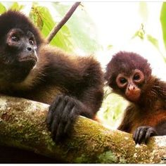Did you know? Spider monkey females possess a pseudo-penis, which is really an elongated labia. #funfact #weekend #spidermonkey #monkey #cute #animal #cuteanimals #babyanimal #biology #anatomy #evolution #wildlife #nature #wildlifephotography #bestnatureshots #learn #conservation #rainforest #osa #costarica #DANTA