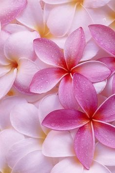 Plumerias. Can you smell them? Aaaaah ... so wonderful…