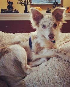 Dog for adoption - Sterling, a Chihuahua Mix in O'Fallon, MO | Petfinder