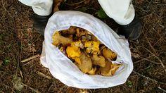 How+to+Pick+Chanterelle+Mushrooms+--+via+wikiHow.com