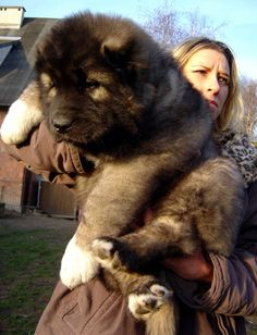 A big fluffy puppy! (One of the biggest: A Caucasian Mountain Shepherd pup. Animals And Pets, Baby Animals, Funny Animals, Cute Animals, Cute Puppies, Cute Dogs, Dogs And Puppies, Doggies, Big Dogs