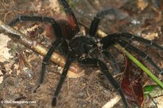World's Most Amazing Things: Giant Tarantula spider, Tarantula Pictures, Tarantula Facts, Information, Habitats, News