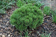 18 x 18    Teeny Dwarf Mugo Pine (Pinus mugo 'Teeny') at English Gardens