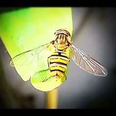 Hoverfly - Photo from the Instacanvas gallery for lunaraye.
