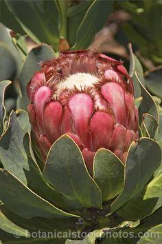 Protea Grandiceps Princess Protea/Red Sugarbush Rooisuikerkan S A no Protea Art, Protea Flower, Flower Vases, Flower Art, Exotic Flowers, Pink Flowers, Beautiful Flowers, Desert Plants, Tropical Plants