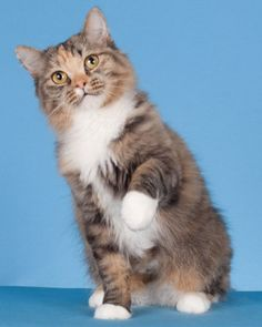 RagaMuffin - cat breeds for dog people