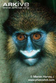 """Moustached guenon - photo by Martin Harvey, via Arkive;  The contrast of the """"moustache""""  between the nose and upper lip with the yellowish-orange cheek tufts and the bare, dark blue skin of the face, gives this small African forest monkey a truly striking appearance. Its coat is finely speckled reddish-brown and grey."""