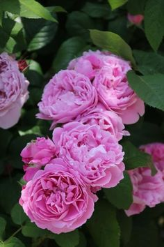 Rosa 'Mary Rose'  This is my all time fav rose....love everything about it
