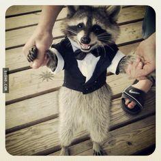 Raccoon in a tuxedo!