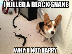 Funny dog   I killed a black snake