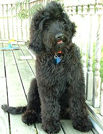 Black Goldendoodle - perhaps Weezie needs a playmate?