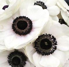 White Anemone, Flower Arrangements, Anemones, Floral, Flowers, Paintings, House, Black, Floral Arrangements