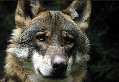 Gorgeous wolf portrait