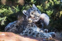 Snow leopards bite their tails - Album on Imgur