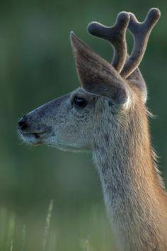 Mule Deer (odocoileus Hemionus) Young Buck in Velvet. South Dakota, Usa