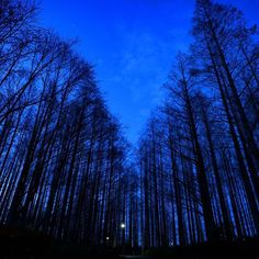 【nekotea_skywalker】さんのInstagramをピンしています。 《MetasequoiaTrees Silhouettes Under Blue Sky After Sunset. Tokyo Mizumoto Park.  夕焼け後のメタセコイアの森 #葛飾 #水元公園 #夕焼け #夕焼け空 #夕焼け雲 #グラデーション #森  #空 #tokyo #metasequoia #sky #bluesky #skyporn #forest #trees #park #japan # #eyeem #eyeemoninstagram #blue #nature》