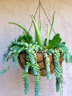 Hanging Basket of Succulents Succulent Outdoor, Succulent Landscaping, Succulent Pots, Succulents Diy, Succulent Ideas, Water Wise, Ocean Themes, Hanging Baskets, Trees To Plant