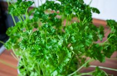 Pruning parsley is important to keep the plant in shape, and to encourage it to constantly produce new growth. Discover when and how to prune parsley here! Como Plantar Cilantro, Como Plantar Salsa, Edible Garden, Easy Garden, Indoor Garden, Compost, Parsley Plant, Biennial Plants, Herbs Indoors