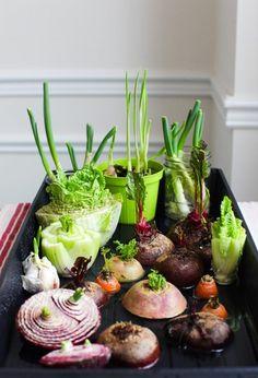 12 Best Veggies & Herbs to Regrow from Kitchen Scraps - - Best vegetables & herbs to regrow from kitchen scraps in water or soil. Start a windowsill garden indoors, or grow foods using grocery lettuce, beets, etc! Garden Types, Regrow Vegetables, Regrow Celery, Regrow Green Onions, Sweet Home, Growing Veggies, Growing Onions, Growing Garlic From Cloves, Growing Sprouts