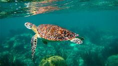Swim with giant sea turtles at Akumal Beach, Mexico.