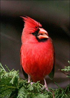 Google Image Result for http://animal.discovery.com/guides/wild-birds/gallery/northern_cardinal.jpg