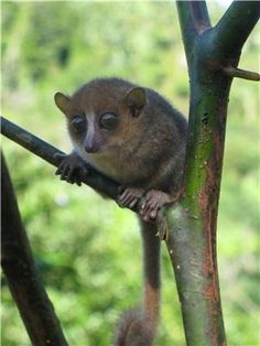 Gerp's mouse lemur (Microcebus gerpi).//A Malagasy-German research team has discovered a new primate species in eastern Madagascar. Credit: B. Randrianambinina