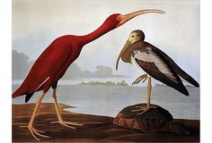 Scarlet Ibis / Dutch Touch