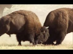 Bison Battle - Yellowstone - BBC - YouTube