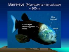 barreleye fish eyes - Google Search Green Eyes, Fish, Cool Stuff, Projects, Deep, Animals, Google Search, Log Projects, Animales