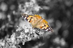 Love this. I have this photo hanging in my living room. Orange and Black Butterfly on a Black and White Background. Prints available for $10