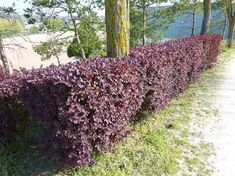10 Fast Growing Hedges For Privacy - Gardeners' Guide Privacy Hedges Fast Growing, Fast Growing Hedge Plants, Fast Growing Evergreens, Hedges For Privacy, Hedges Landscaping, Garden Hedges, Small Backyard Landscaping, Evergreen Hedging Plants, Evergreen Hedge
