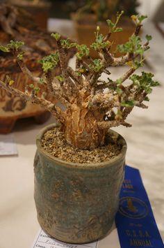https://flic.kr/p/MvqREK | Jatropha pelargonifolia CSSA 2012.JPG