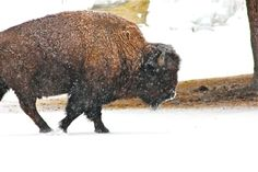 Bison in winter, Yellowstone.